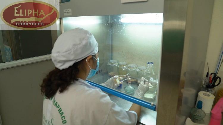 Nghiên cứu nuôi cấy đông trùng hạ thảo ở Việt Nam
